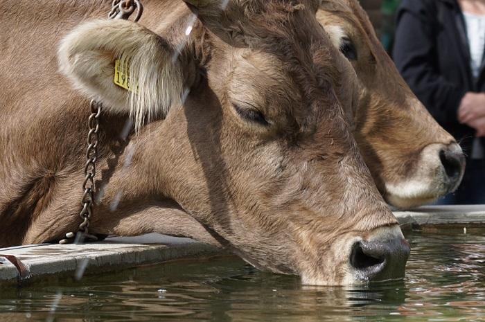 Красивая серая корова и вода