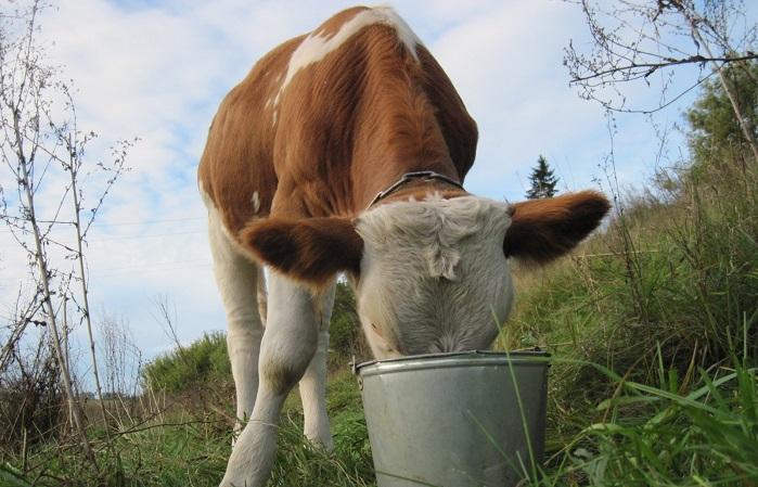Корова пьет из ведра