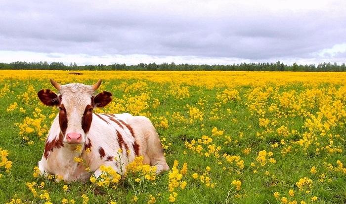корова и цветы