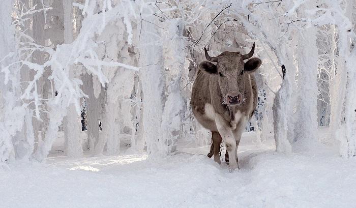 корова и зима
