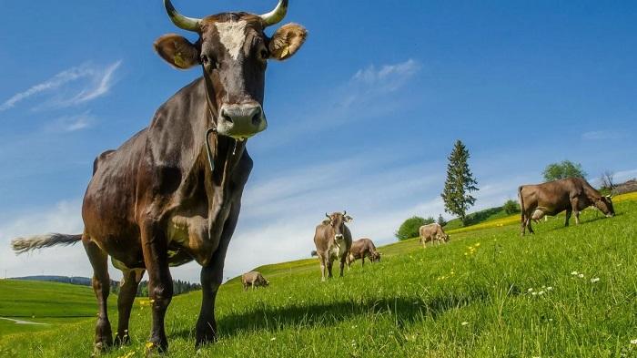 корова и небо