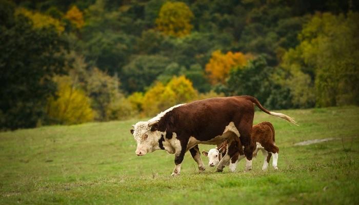 бычок и теленок