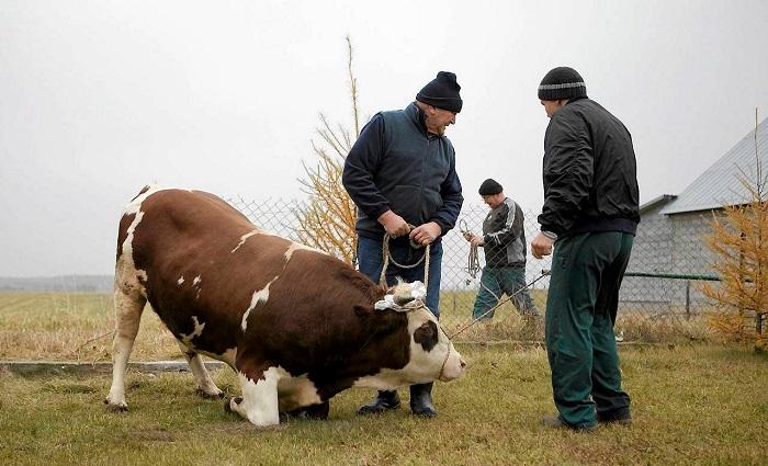 Подготовка к забою коровы
