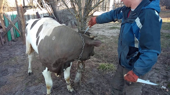 Показывает как делать забой коровы