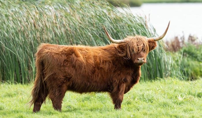 шотладская порода