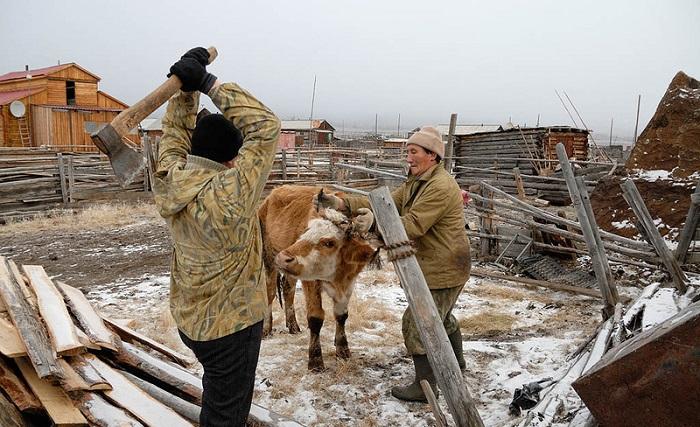 Оглушения коровы топором