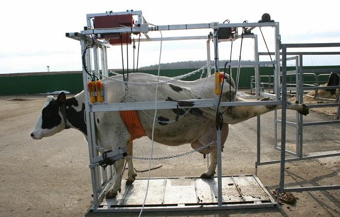 станок и корова