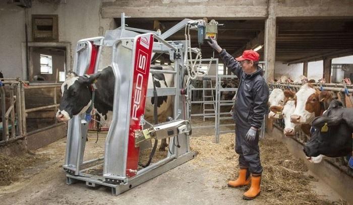 корова и рабочий
