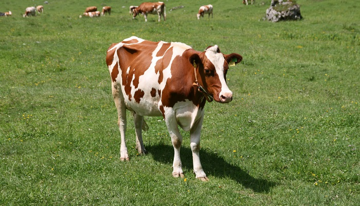 корова и тень