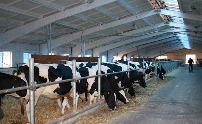 Коровы кушают сено в коровнике