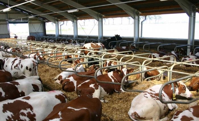 Много коров отдыхают лежа на подстилках