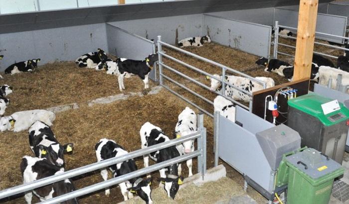 безпривязное содержание коров