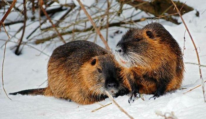 нутрия и снег