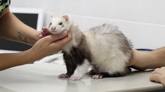 Хорек на осмотре у ветеринара