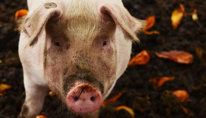 свинья и монета