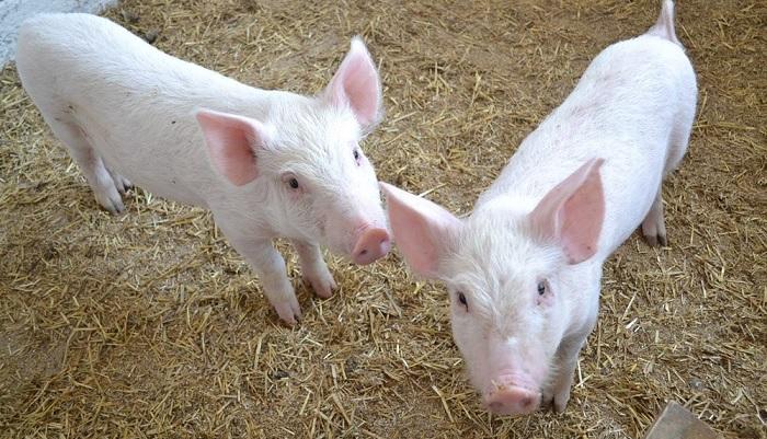 свинья с ушами