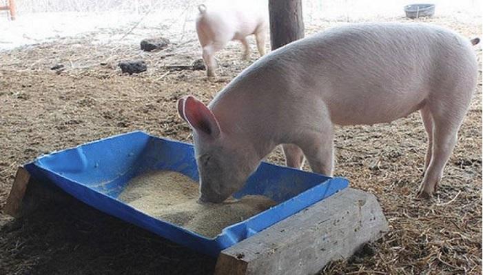 пластиковое корыто и свинья
