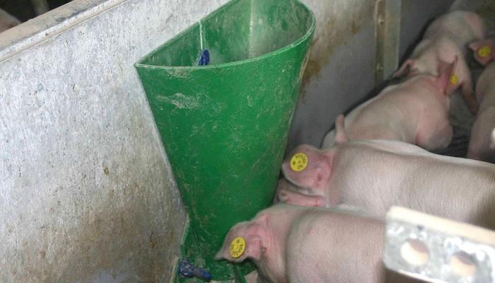 свиньи и зеленое корыто для кормления