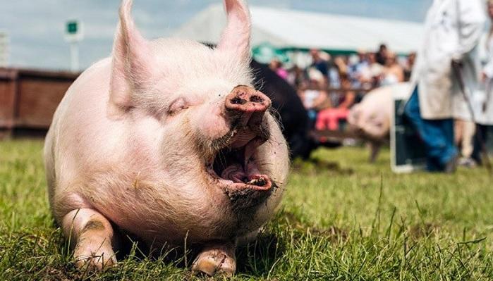 свинья открыла рот
