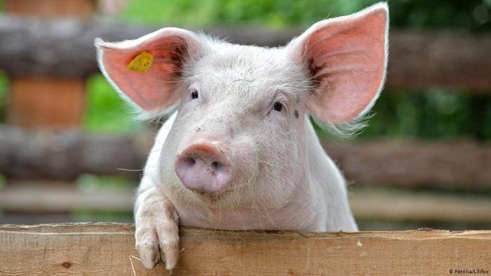свинья возле забора