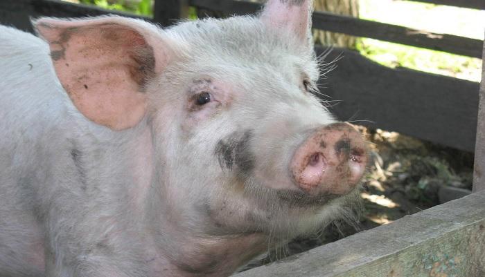 свинья в загоне