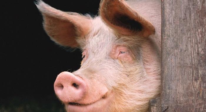 свинья возле столба