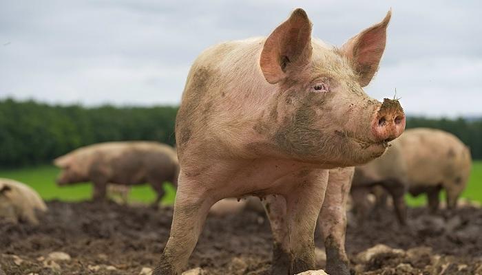 свинья стоит на земле
