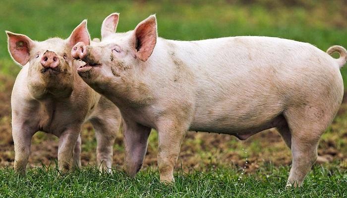 две свиньи стоят на траве