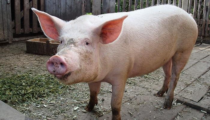 свинья на деревянном полу