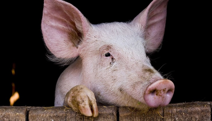свинья опирается о брусок