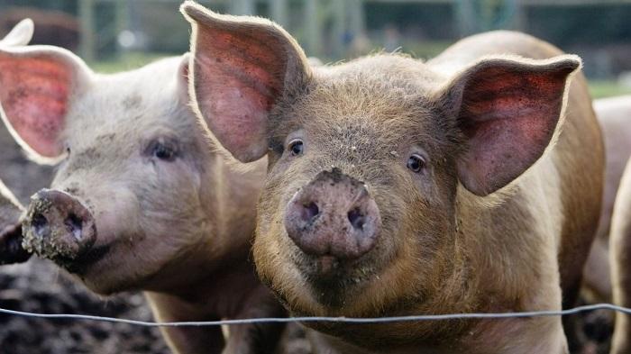 свинья за проволкой
