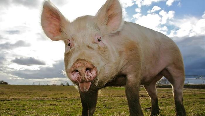 свинья на фоне неба