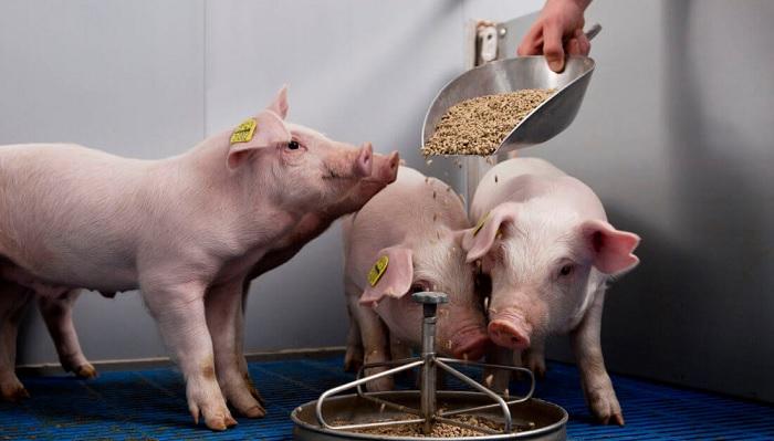 кормление свиней, премикс
