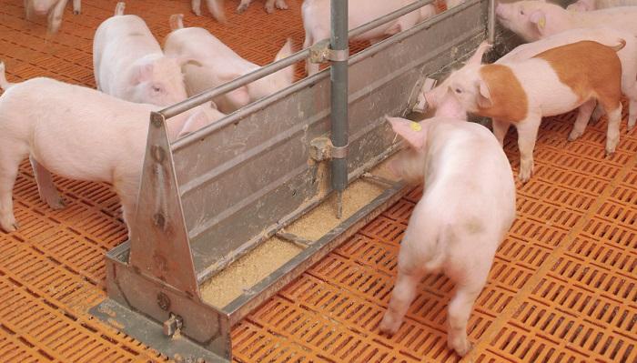 ферма и свиньи