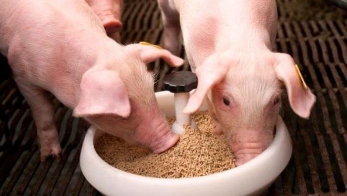 белая чашка и свинья