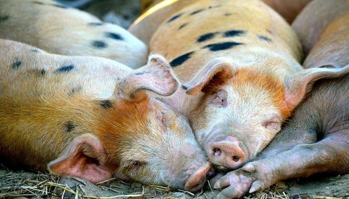 свинья спят