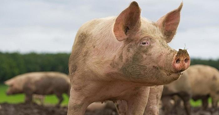 свинья в профиль