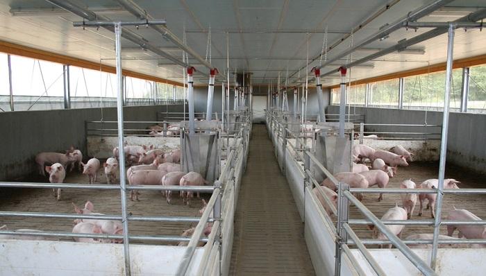 просторная ферма для свиней