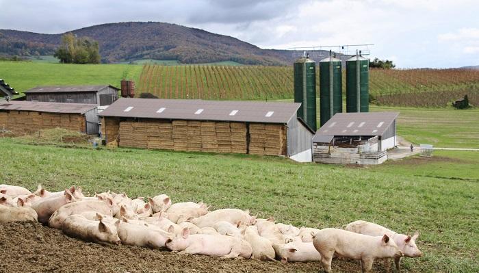 свинарник в полях