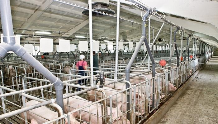 свиньи и ферма