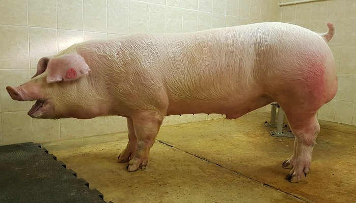 свинья в помещении