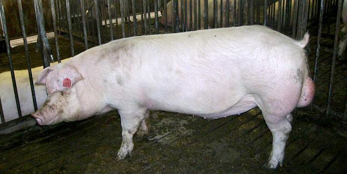 свинья и решетка