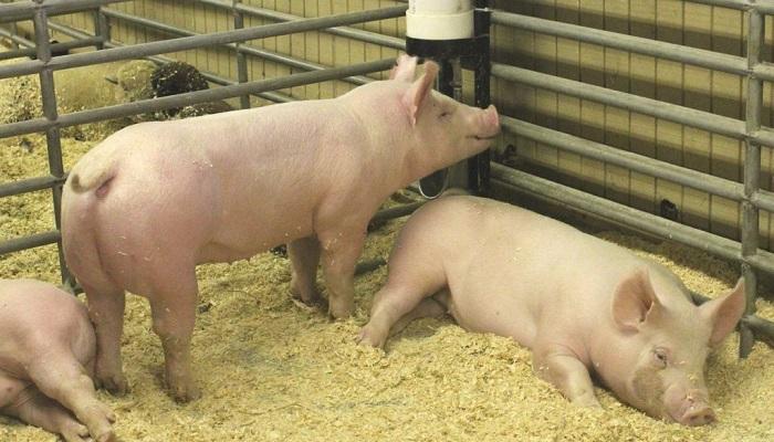 три свинья на подстилке