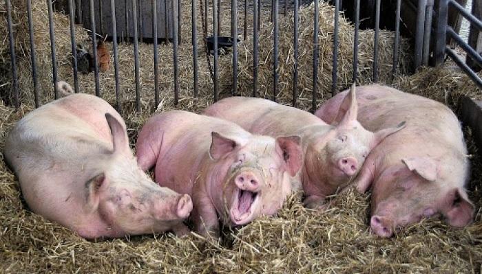 четыре свинья на сене