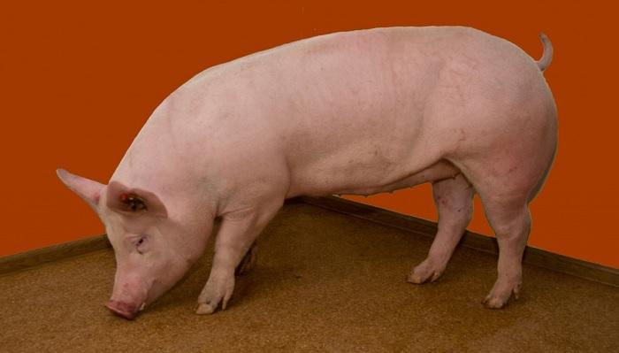 свинья на красном
