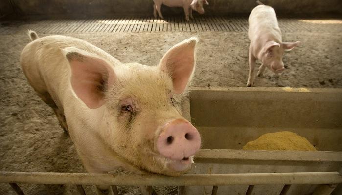 свинья на заднем плане