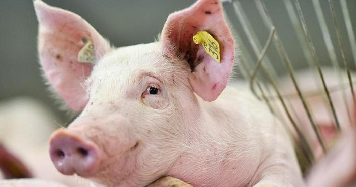 свинья с пробиркой