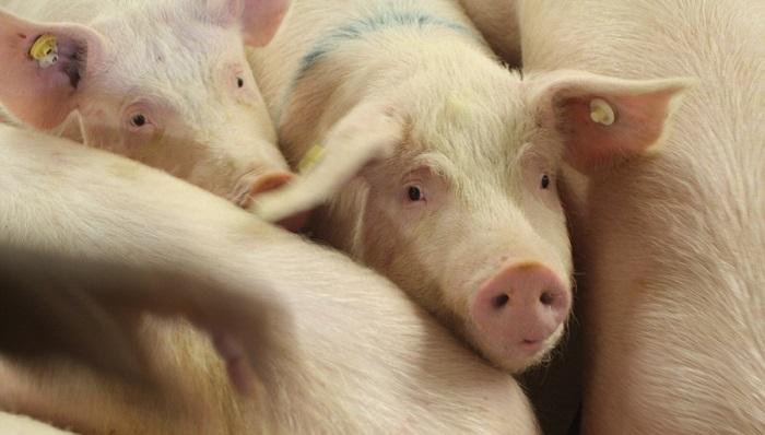 свинья и маленькие глаза