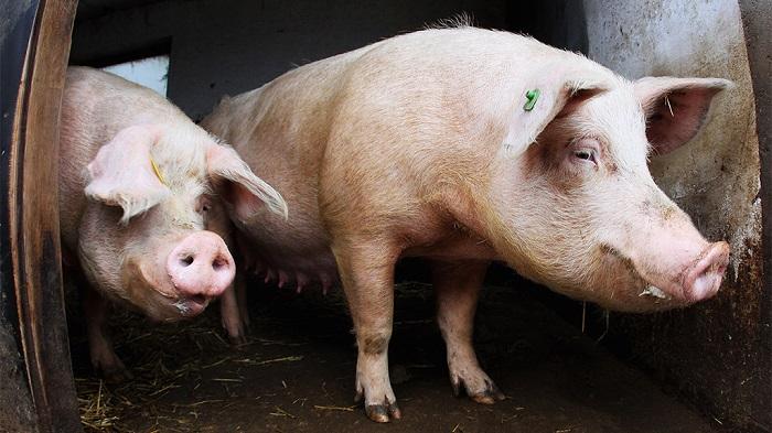 свинья с зеленой пробиркой