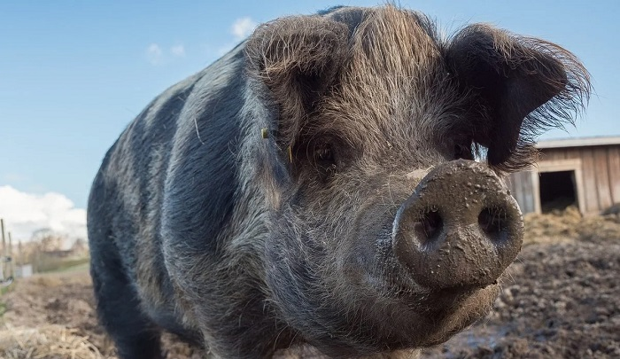 свинья и нос в грязи
